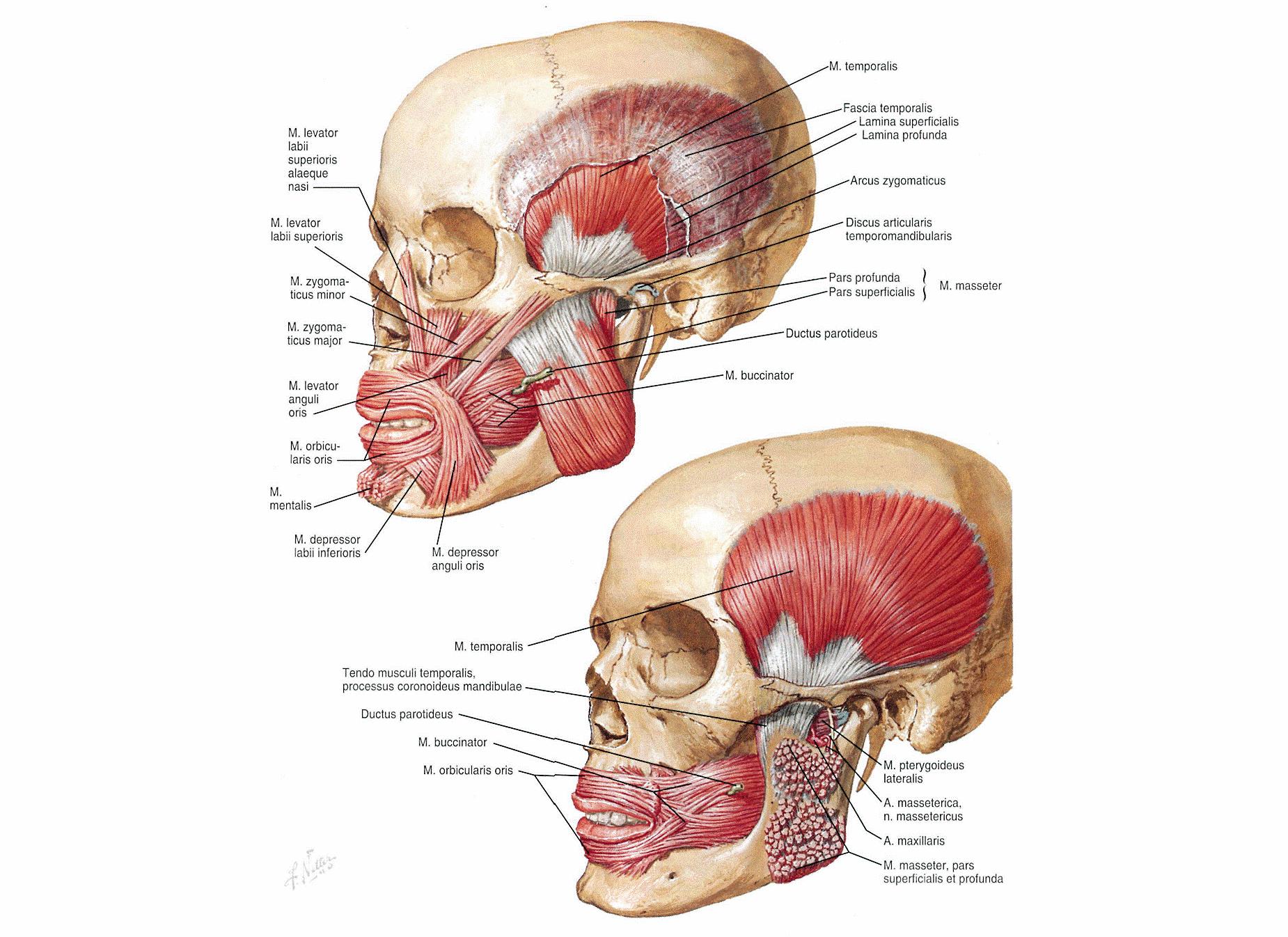 Мышца жевательная